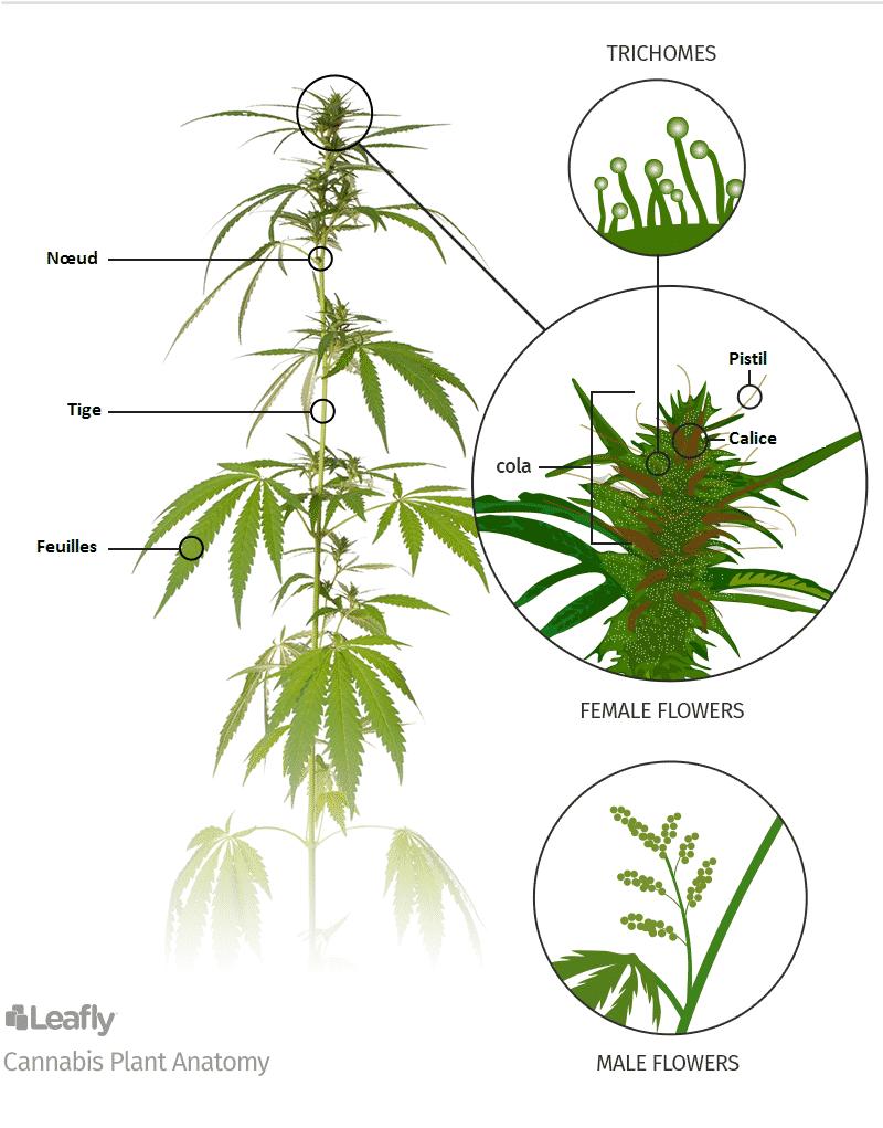 растение, мужчины, анатомия каннабиса, анатомия