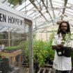 variety, strain Bob Marley