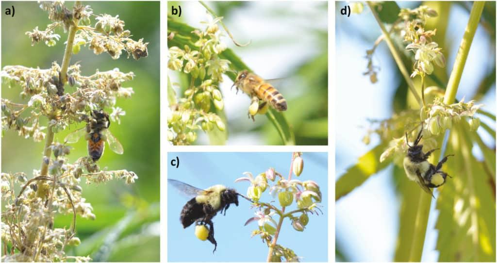 cây gai dầu, ong