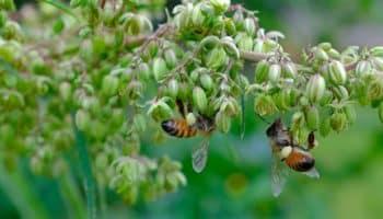 hemp, bees