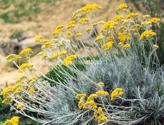 planter med cannabinoider