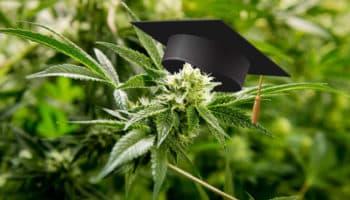 diploma di cannabis