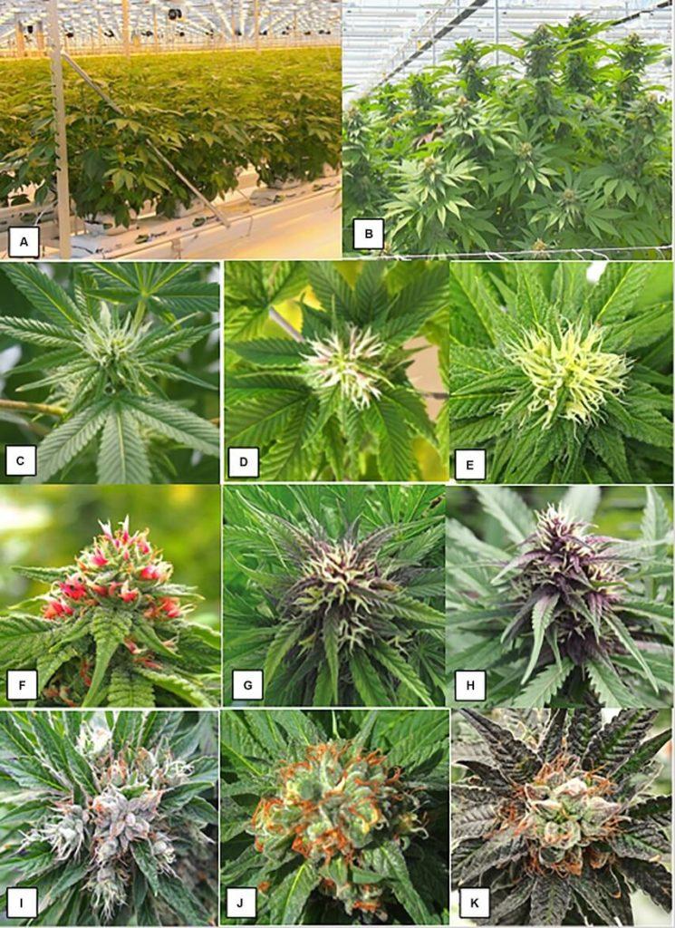 hermafrodiete plant