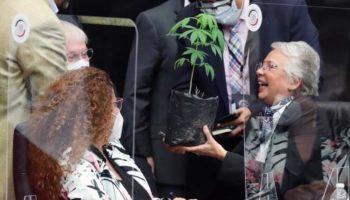 легализация, растение марихуаны Мексика