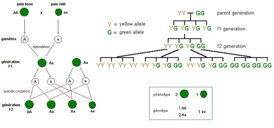 Di truyền cần sa, định luật Mendel