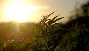 La denominación de origen controlada del cannabis, denominación de origen controlada