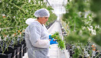 Panaxia ønsker at markedsføre cannabis i Frankrig gratis