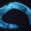 El cannabidiol prolonga la vida, un estudio de gusanos