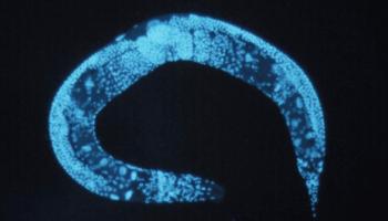 Le cannabidiol allonge la vie,Une étude sur les vers