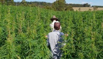 cannabis en tasmanie)