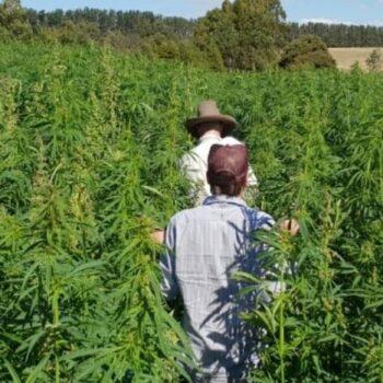 cannabis en tasmania)