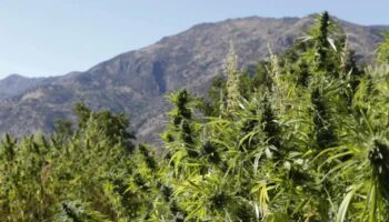 Morocco cannabis