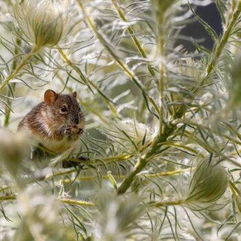 chuột phòng thí nghiệm terpene