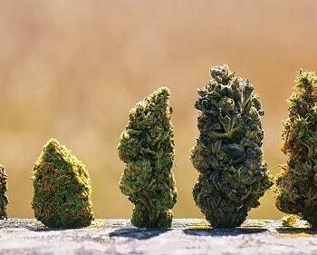top 5 legendary cannabis strains thc