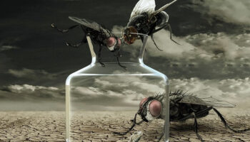пустынная муха