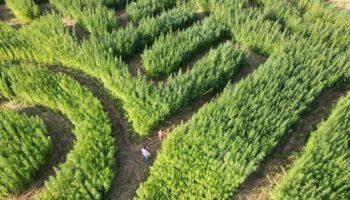 labirinto de cânhamo 2